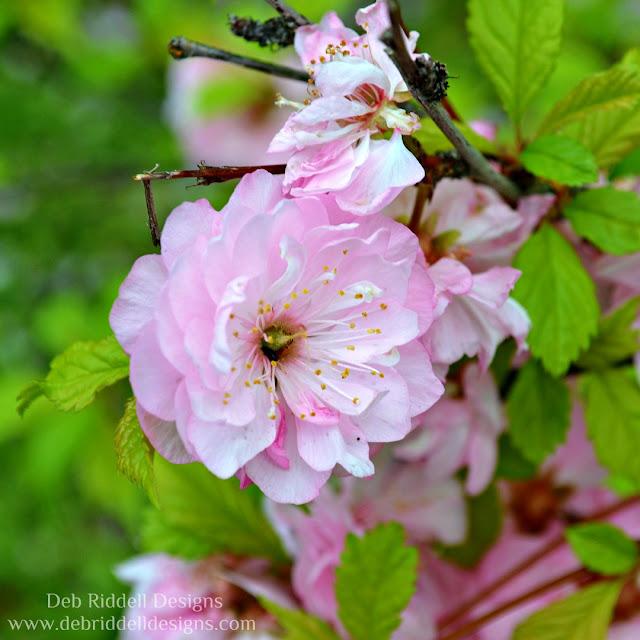Flowering Almond Blossom