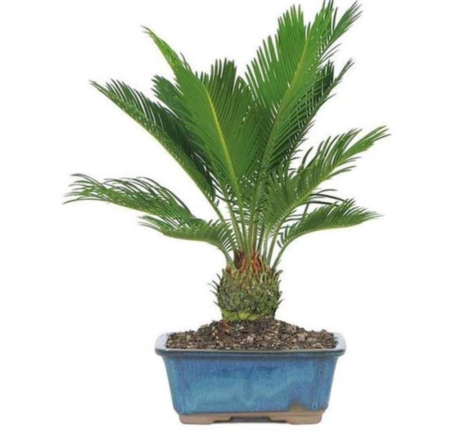 NEW tanaman hias sikas udang pohon sikas mini Maluku Utara