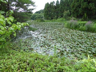 花博記念公園鶴見緑地 日本庭園 スイレン