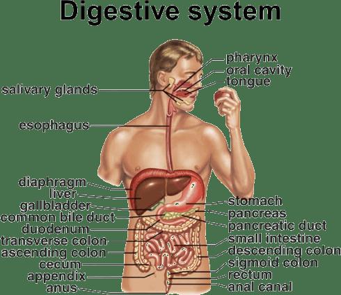Human digestive system,(DIGESTIVE SYSTEM) - Apni Duniya