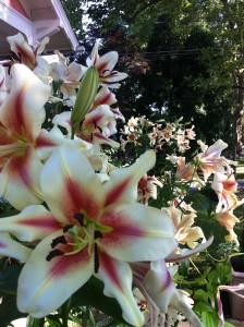 Lily Love Affair | Ethne Clarke's Garden Pages