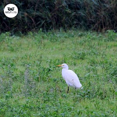 Garcilla bueyera (Bubulcus ibis) en un prado en la cercanía a los cortados.