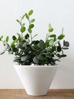 XEROSICYOS DANGUYI in a white pot