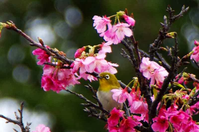 bird, white eye, cherry blossoms