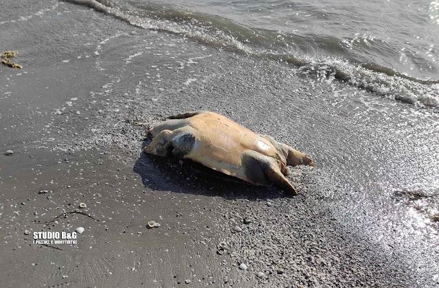 Νεκρή θαλάσσια χελώνα στη Νέα Κίο Αργολίδας