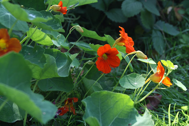 nasturtiums, garden flowers, summer flowers, orange flowers, Anne Butera, My Giant Strawberry