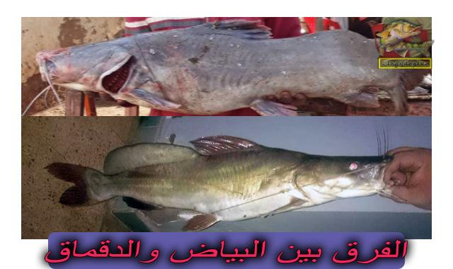 الفرق بين اسماك قشر البياض والدقماق والبياض النيلي
