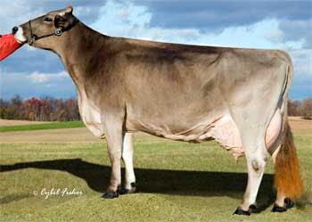 Raza de ganado suizo marrón