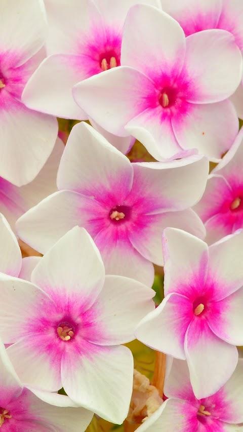 Nhị hồng cánh trắng