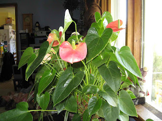 flamingo lily, one of the top air-purifying plants