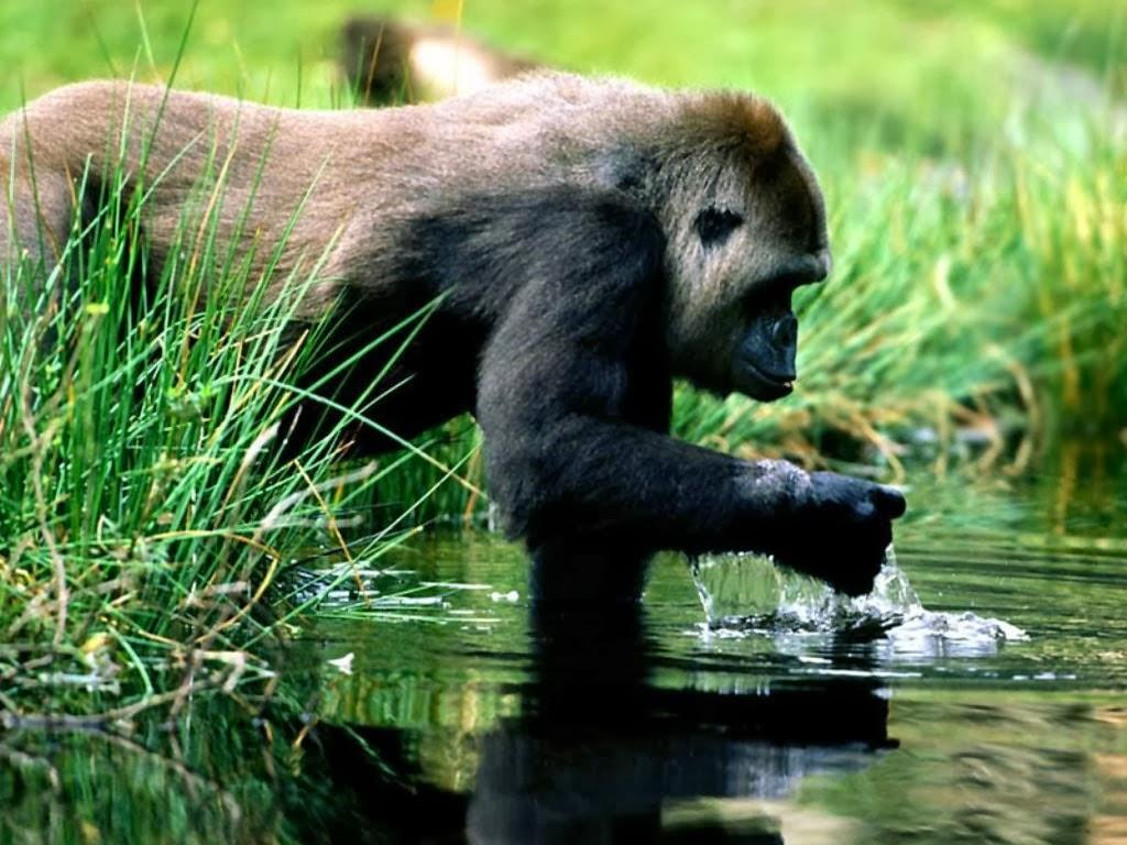 Evolucion primates