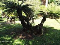 Cycas revoluta, Foster Botanical Garden - Honolulu, HI