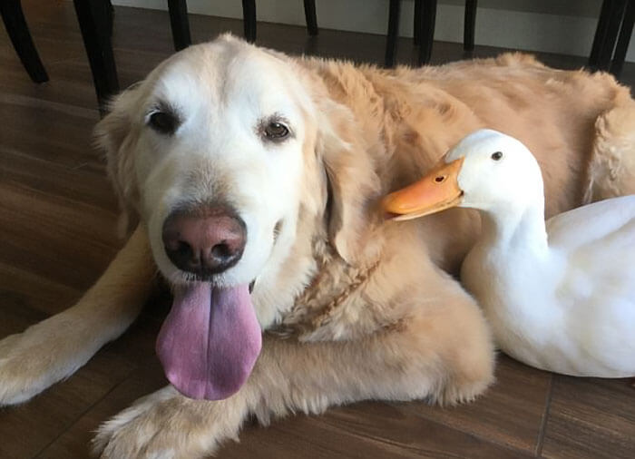 Heartwarming Pictures Of A Friendship Between A Dog And A Duck
