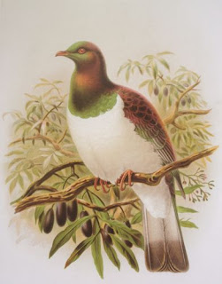 Kererū, the New Zealand wood pigeon by John Keulemans