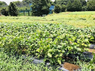 羽田バル ホップ収穫イベント