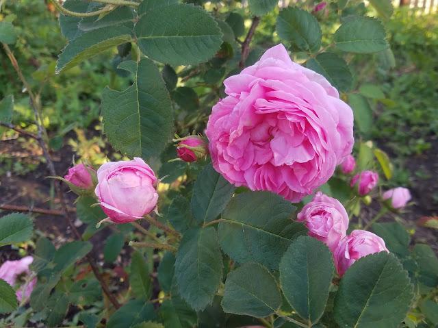 мои 92 дня лета, зацветает роза чайная