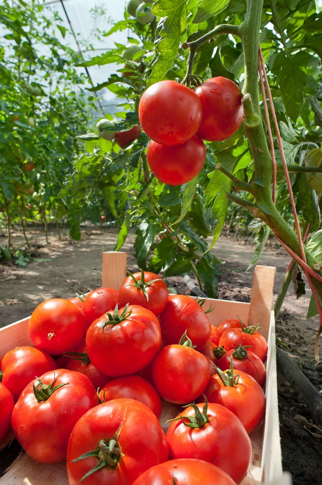 Tomatoes on a Farm