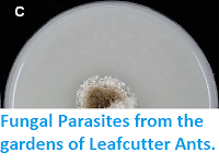 http://sciencythoughts.blogspot.co.uk/2014/07/fungal-parasites-from-gardens-of.html