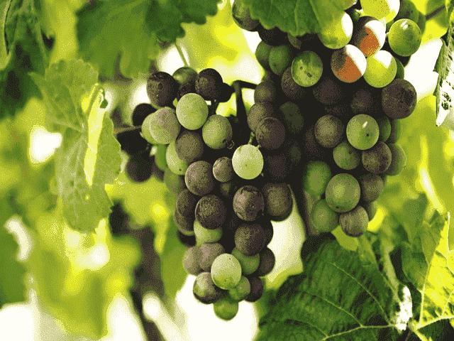 4 Faedah Daun Anggur Untuk Kesehatan Serta Langkah Memprosesnya