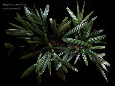 Palmeira Rhapis excelsa