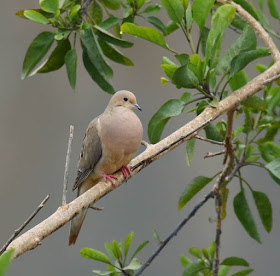 Photo of Mourning Dove in a tree