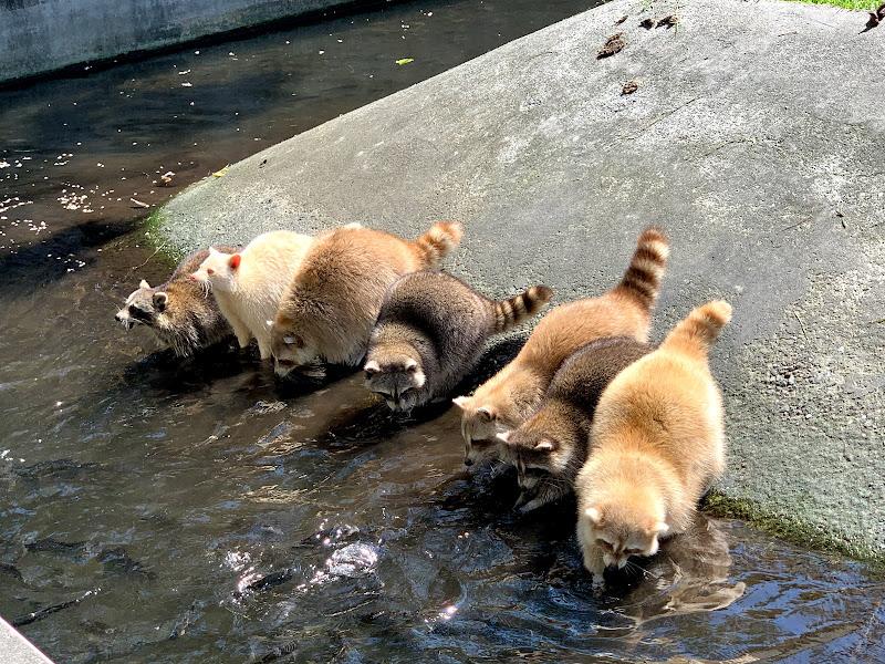 兆豐農場的浣熊們