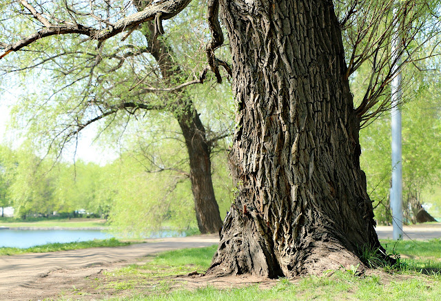 salicylic acid derived from the willow bark