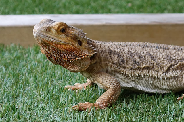 A friendly bearded dragon you can stroke