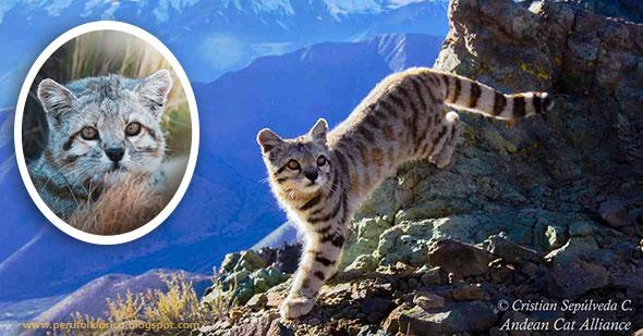 ESPECIAL: Conoce al gato sagrado de los Andes