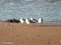 Four Sanderlings sleeping with one eye open, Brackley Beach, PEI