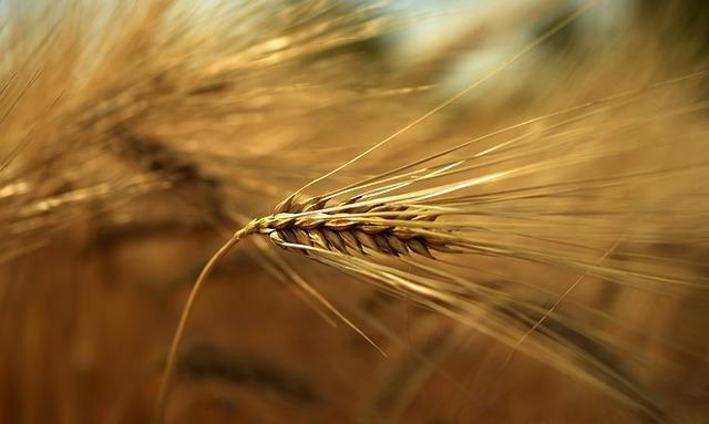 Apa itu alergi gandum? siapa yang beresiko terkena?
