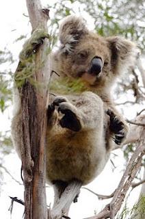 Koala (コアラ)