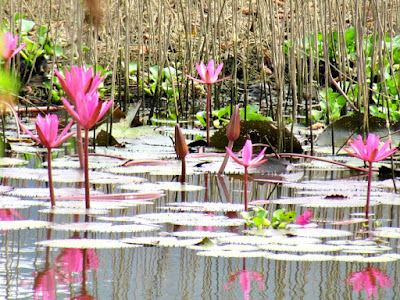 Water lilies, pond