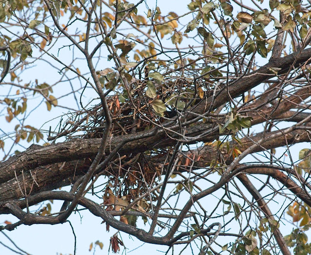 Red-tailed hawk nest in Tompkins Square locust tree