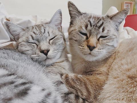 寝ぼけ顔のサバトラ猫とシャムトラ猫