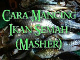 cara mancing ikan semah yang besar