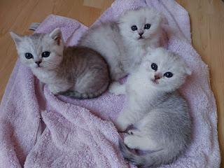 scottisl fold kittens