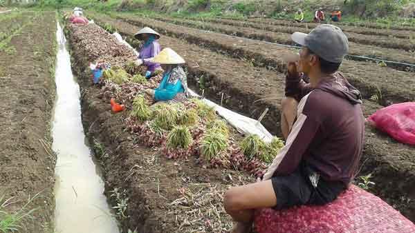 petani bawang majalengka dihantui gagal panen
