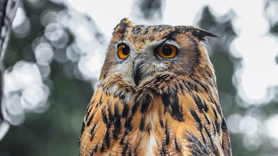Bird Wallpaper, Eagle Owl, Brown, Wildlife