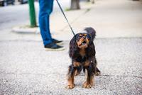 A Cavalier King Charles Spaniel is reactive on leash