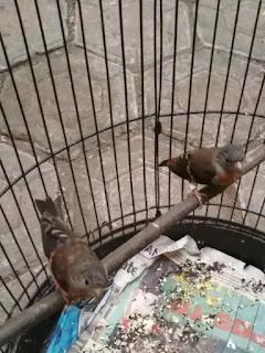 Ciri-ciri Burung Red Siskin Jantan dan Betina