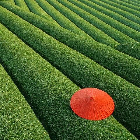 Teaföld Kínában