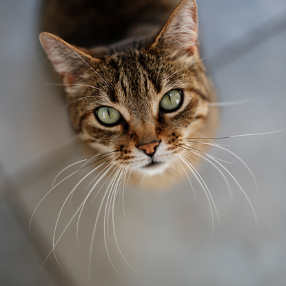 tabby cat looking up at camera