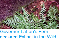 https://sciencythoughts.blogspot.com/2014/06/governor-laffans-fern-declared-extinct.html