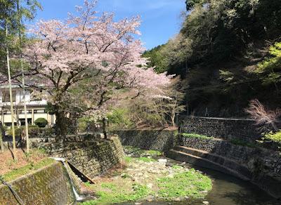 船山温泉の桜