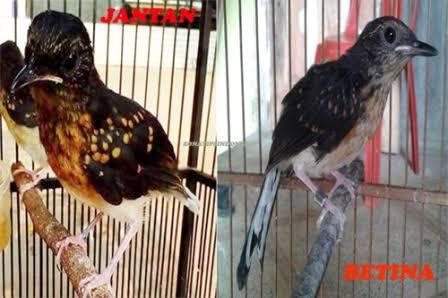 Cara Gampang Bedakan Ciri Betina Atau Jantan Burung Murai Batu Anakan Trotol Liputan Indonesia