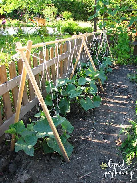 uprawa ogórków przy podporach, uprawa ogórków, podpora pod ogórki, ogród przydomowy