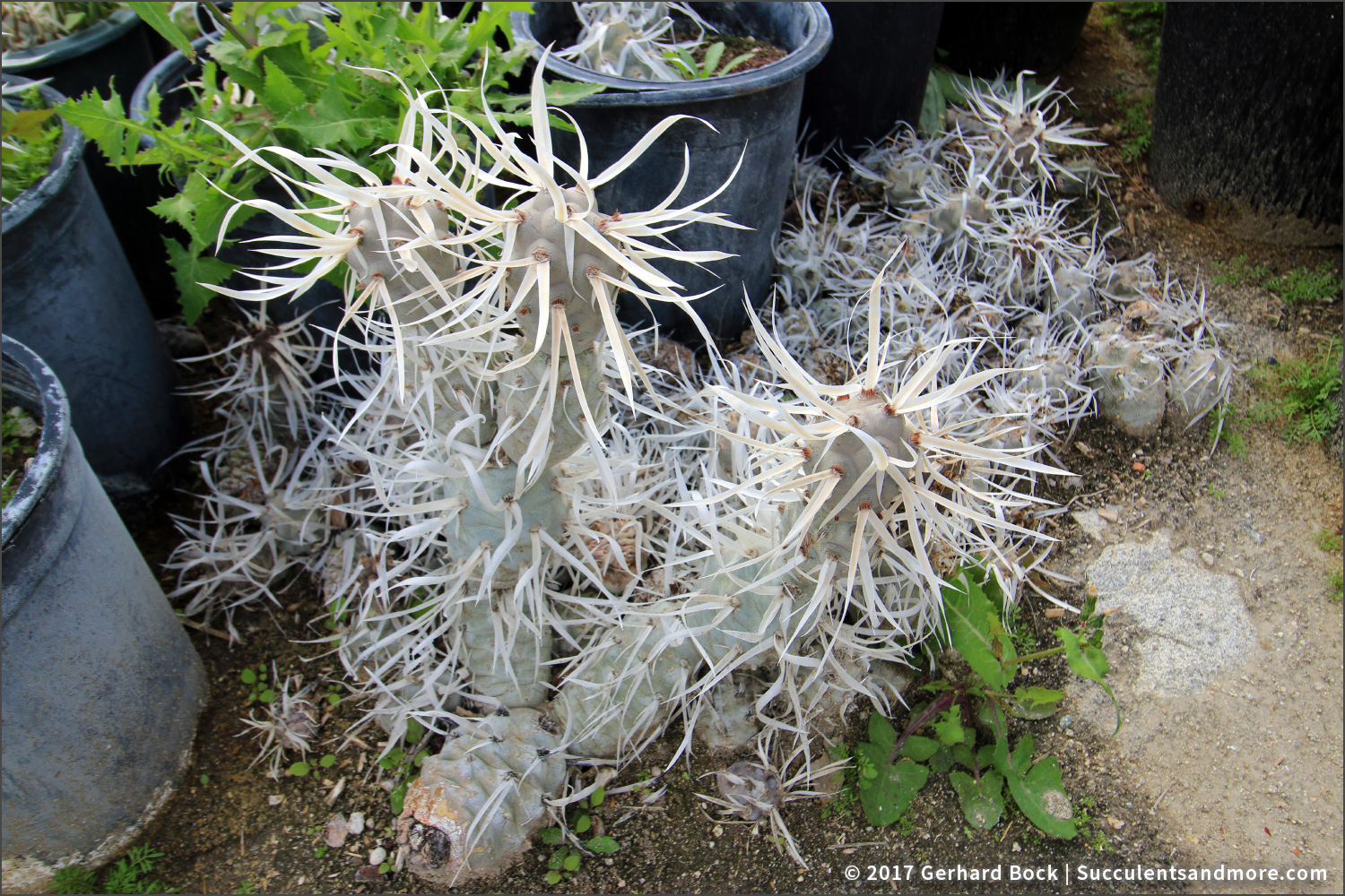 Here S An Example Of How Easily Some Cactus Propagate This Is The Paper Spine Tephrocactus Articulatus As It Gets Taller Top Segments Get