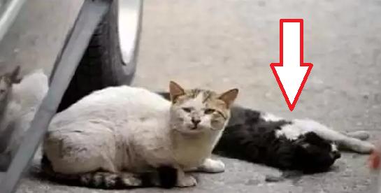 Nabrak Kucing Bawa Kesialan? Antara Fakta & Mitos
