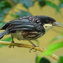 Burung Cendet Matahari Merupakan Jenis Burung Endemik Yang Di Lindungi